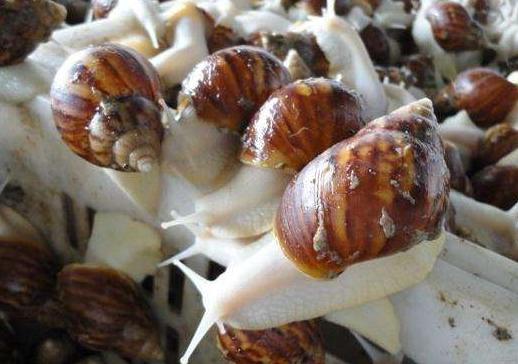 人工养殖蜗牛的注意事项