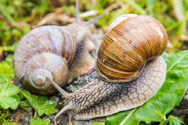 蜗牛到底是害虫还是益虫