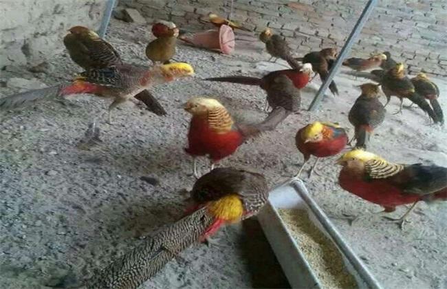 红腹锦鸡的养殖技术
