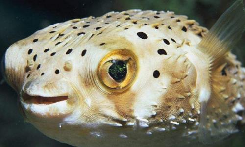 鱼缸能养河豚吗