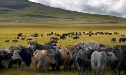 牦牛养殖牧场怎么划分