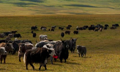 牦牛群怎么划分