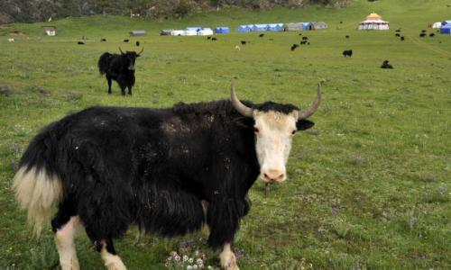 牦牛养殖如何合理使用牧场
