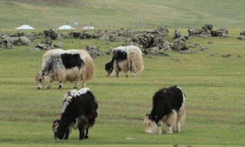 牦牛的驯养技术
