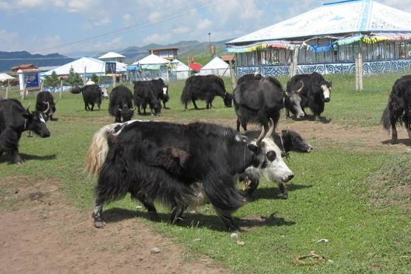 大通牦牛与其他品种的区别