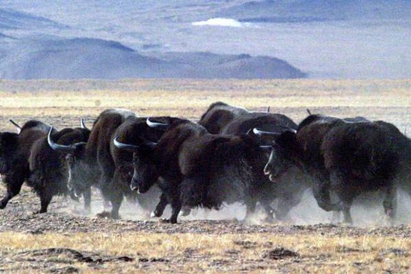 大通牦牛的品种特征