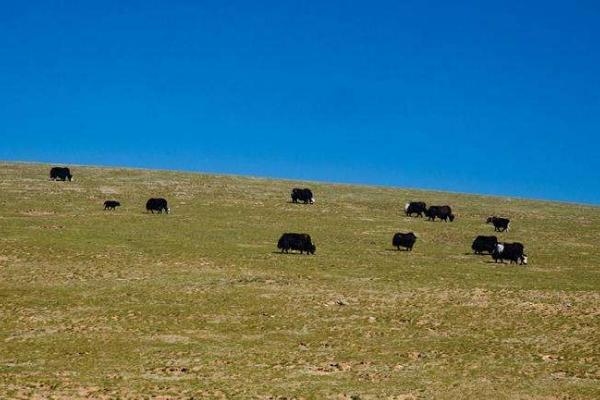 牦牛的饲料种类有哪些