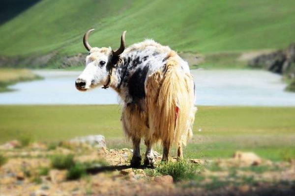 如何提高牦牛的繁殖力