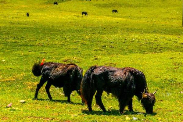 野牦牛的驯化技巧