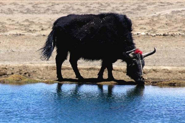人工农村养殖牦牛如何控制温度