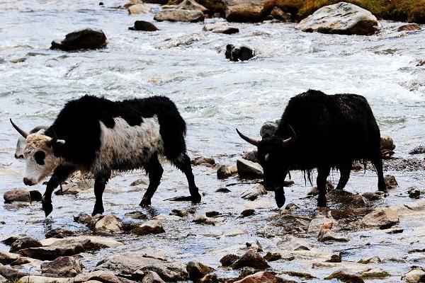 牦牛农村养殖如何预防疾病