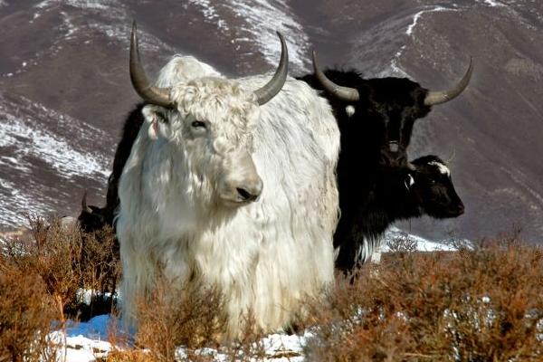 牦牛患有传染病怎么办