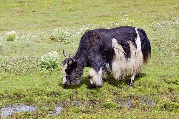 牦牛接种注意事项