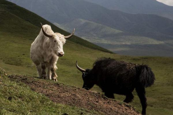 牦牛接种免疫失败的原因