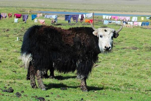 牦牛的主要传染病有哪些