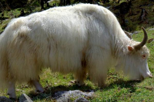 白牦牛的原产地