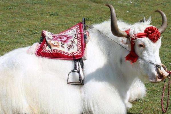 白牦牛是国家保护动物吗
