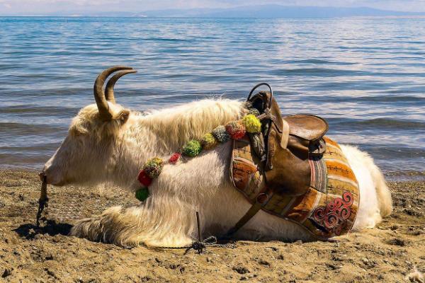 关于白牦牛的传说
