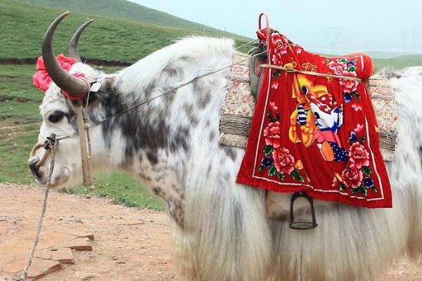 白牦牛的食用价值