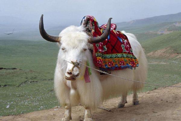 白牦牛的生产性能