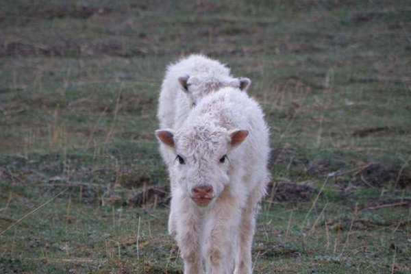 白牦牛的繁殖特点