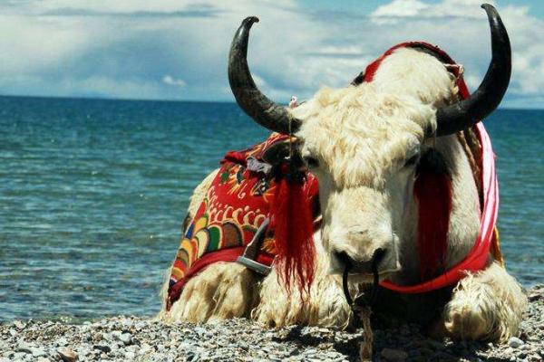 白牦牛一头多少钱