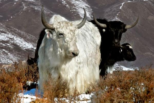 白牦牛的生存环境