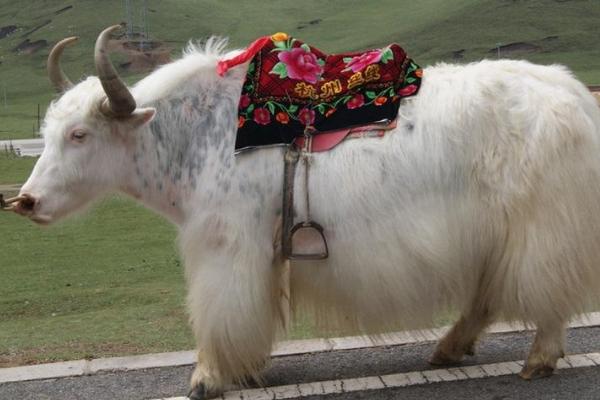白牦牛农村养殖注意事项