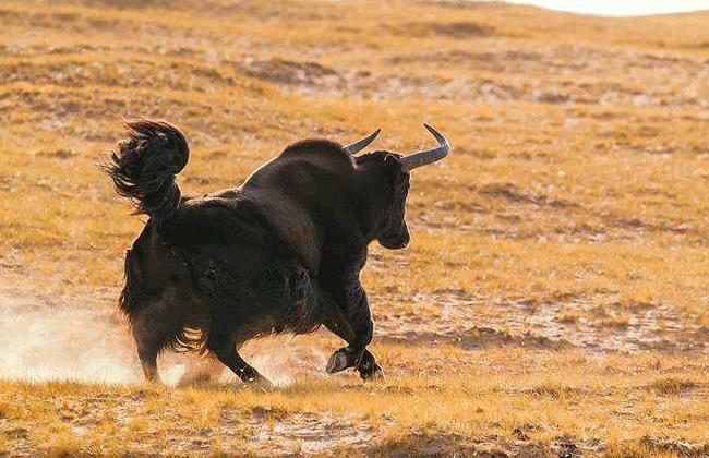 野牦牛的生活习性
