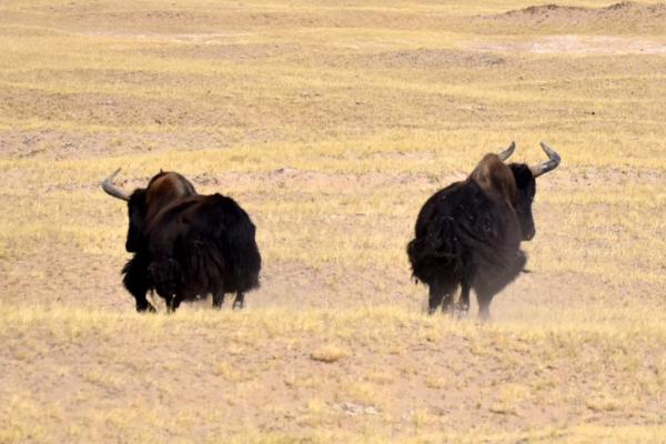 野牦牛有哪些特征