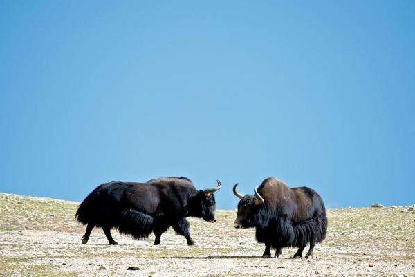 野牦牛是保护动物吗