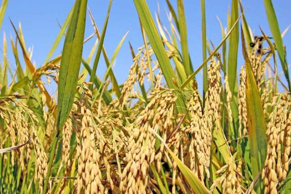 水稻种植晒田的好处