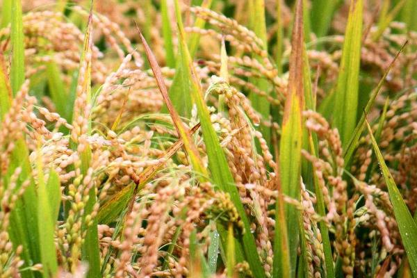 有机水稻如何防治病虫害