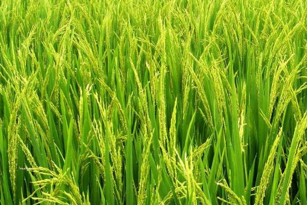 有机水稻的高产种植技术
