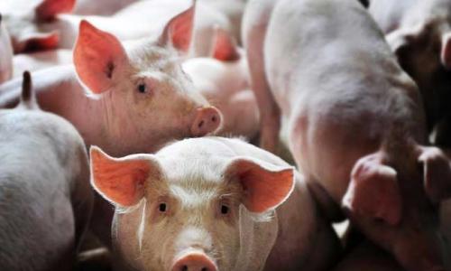 农村养猪有补贴吗?