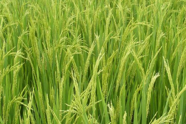 水稻叶面施肥的特点