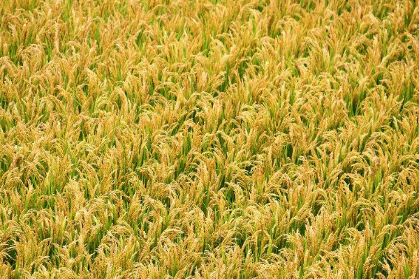 怎样避免水稻田农药流失