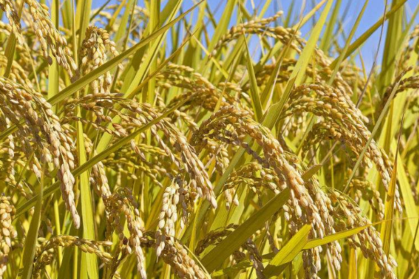 干旱地区水稻生产技术