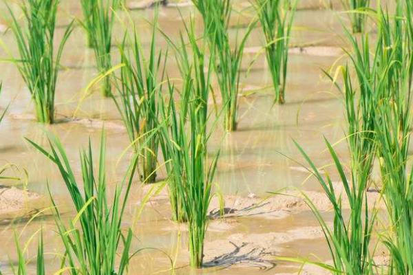 水稻种植分布范围