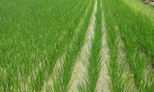 寒露风对晚稻的影响