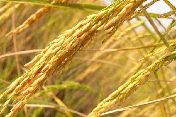 寒露来临晚稻应采取哪些防治措施