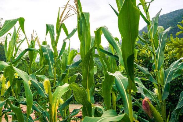 玉米受涝的补救措施