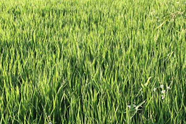 晚稻品种可以做早稻种植吗