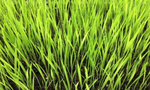 晚稻为什么适宜傍晚插秧