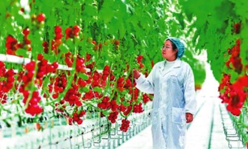 番茄采摘期一年可达八个月