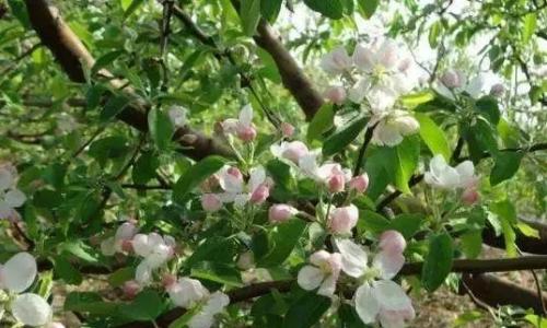 三大果树(苹果、梨、桃)花期病虫害防治技术有哪些要领?