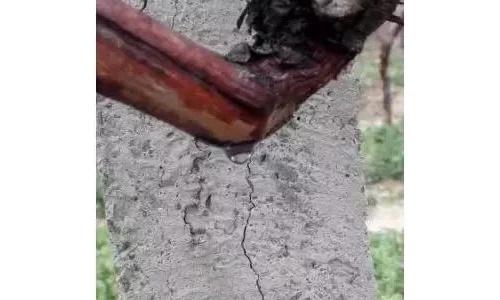 葡萄萌芽至开花期间的生长特点及管理技术