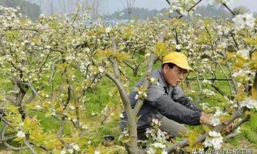 梨树疏花、授粉有技巧,这些方法要记牢