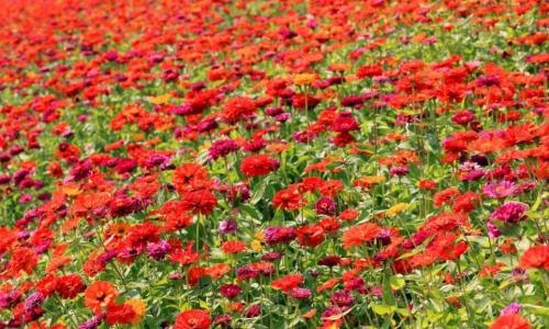百日草种子几月播种最好?快速发芽的方法介绍