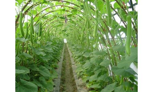 专家提醒:越夏蔬菜虫多早做打算